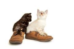 Retrato de dois gatinhos de Ingleses Shorthair que sentam-se no men& x27; sapatas de s Fotografia de Stock