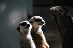 Retrato de dois meerkats que olham para fora para sua família foto de stock royalty free