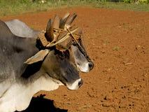 Retrato de dois oxes amarrados por um garfo Imagem de Stock