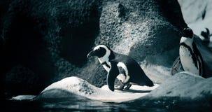 Retrato de dois pinguins que estão na costa rochosa fotos de stock royalty free
