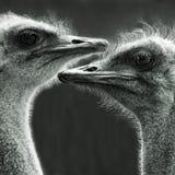 Retrato de dos avestruces Imágenes de archivo libres de regalías