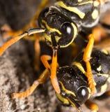 Retrato de dos avispas en naturaleza Fotografía de archivo libre de regalías