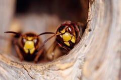 Retrato de dos avispas grandes - avispones Fotografía de archivo