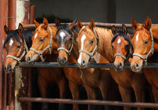 Retrato de dos caballos árabes Foto de archivo libre de regalías