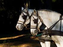 Retrato de dos caballos blancos del trabajo con el arnés Fotografía de archivo libre de regalías
