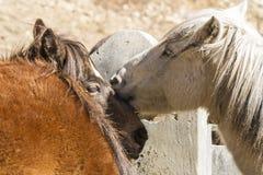 Retrato de dos caballos Ciérrese encima de imagen Nepal, Himalaya imágenes de archivo libres de regalías