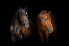Retrato de dos caballos en fondo negro Imagen de archivo libre de regalías
