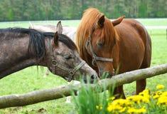 Retrato de dos caballos árabes Imagen de archivo libre de regalías