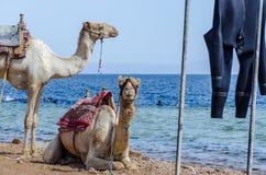 Retrato de dos camellos en la costa del mar en Egipto Dahab Sina? del sur fotografía de archivo
