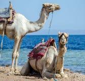 Retrato de dos camellos en la costa del mar en Egipto Dahab Sina? del sur imagenes de archivo