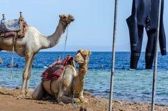 Retrato de dos camellos en la costa del mar en Egipto Dahab Sina? del sur imagen de archivo libre de regalías