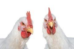 Retrato de dos gallo, gallo o pollos blancos aislados fotografía de archivo libre de regalías