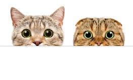 Retrato de dos gatos que miran a escondidas de detrás una bandera Fotos de archivo