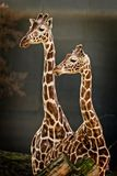 Retrato de dos jirafas fotografía de archivo libre de regalías