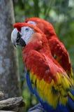 Retrato de dos Macaws del escarlata Foto de archivo libre de regalías