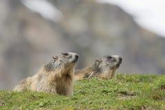Retrato de dos marmotas mientras que le mira Fotografía de archivo