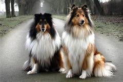Retrato de dos orgullosos y de collies elegantes Fiona y Chanel foto de archivo