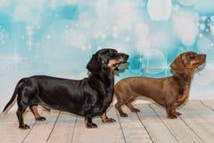Retrato de dos perros basset miniatura Fotografía de archivo libre de regalías