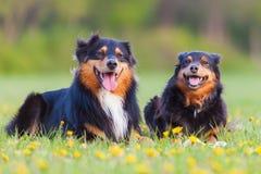 Retrato de dos perros de pastor australianos Fotos de archivo