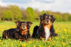 Retrato de dos perros de pastor australianos Imagen de archivo