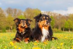Retrato de dos perros de pastor australianos Fotografía de archivo