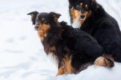Retrato de dos perros en la nieve Foto de archivo libre de regalías
