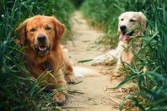 Retrato de dos perros jovenes de la belleza Imagenes de archivo
