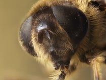 Retrato de Dronefly con el fondo natural Imagen de archivo