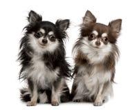 Retrato de duas chihuahuas, sentando-se Fotografia de Stock