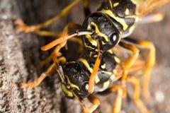 Retrato de duas vespas na natureza fotografia de stock royalty free