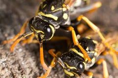 Retrato de duas vespas na natureza imagem de stock royalty free