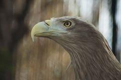 Retrato de Eagle Imagen de archivo
