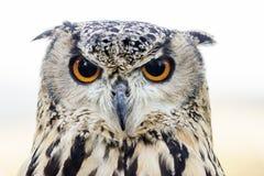 Retrato de Eagle Ow Imágenes de archivo libres de regalías