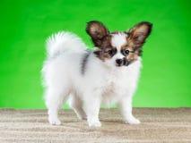 Retrato de encantar el perrito de Papillon Fotografía de archivo