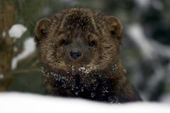 Retrato de Fisher en nieve Fotos de archivo libres de regalías