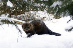Retrato de Fisher en nieve Foto de archivo