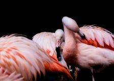 Retrato de flamencos rosados Imagen de archivo