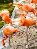 Retrato de flamingos americanos Imagens de Stock