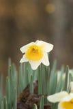 Retrato de florescência do narciso amarelo foto de stock