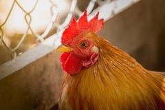 Retrato de galinhas pequenas Imagem de Stock