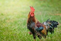 Retrato de galinhas pequenas Fotografia de Stock