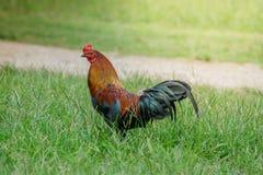 Retrato de galinhas pequenas Fotos de Stock