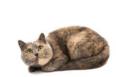 Retrato de gato misturado da raça isolado Foto de Stock Royalty Free