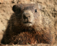 Retrato de Groundhog Imagem de Stock Royalty Free