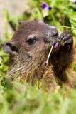 Retrato de Groundhog Fotografia de Stock