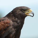 Retrato de Harris Hawk Fotografia de Stock