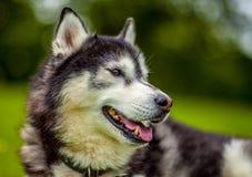Retrato de Husky Dog Fotografía de archivo libre de regalías