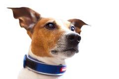 Retrato de Jack Russell Imagens de Stock