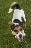 Retrato de Jack Russell Terrier With Mouth Open foto de archivo libre de regalías