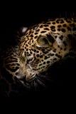 Retrato de Jaguar Foto de Stock Royalty Free